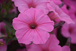 Supertunia Vista® Bubblegum Petunia (Petunia 'Supertunia Vista Bubblegum') at Bedford Fields