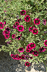 Superbells® Blackberry Punch Calibrachoa (Calibrachoa 'Superbells Blackberry Punch') at Bedford Fields