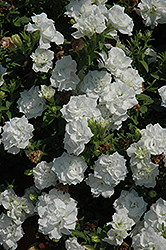Surfinia® Summer Double White Petunia (Petunia 'Surfinia Summer Double White') at Bedford Fields