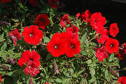 Surfinia® Deep Red Petunia (Petunia 'Surfinia Deep Red') at Bedford Fields