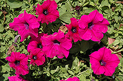 Surfinia® Giant Purple Petunia (Petunia 'Surfinia Giant Purple') at Bedford Fields