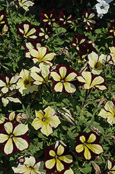 Crazytunia® Star Jubilee Petunia (Petunia 'Crazytunia Star Jubilee') at Bedford Fields