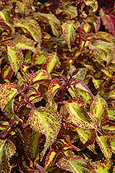 Saturn Coleus (Solenostemon scutellarioides 'Saturn') at Bedford Fields