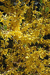 Lynwood Gold Forsythia (Forsythia x intermedia 'Lynwood Gold') at Bedford Fields