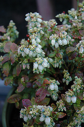 Jelly Bean® Blueberry (Vaccinium 'ZF06-179') at Bedford Fields