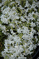 Snowflake Phlox (Phlox subulata 'Snowflake') at Bedford Fields