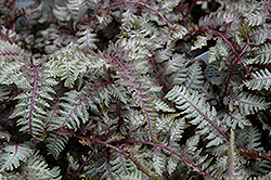 Regal Red Painted Fern (Athyrium nipponicum 'Regal Red') at Bedford Fields