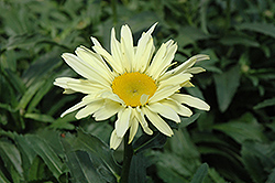 Banana Cream Shasta Daisy (Leucanthemum x superbum 'Banana Cream') at Bedford Fields