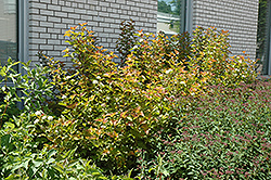 Amber Jubilee™ Ninebark (Physocarpus opulifolius 'Jefam') at Bedford Fields