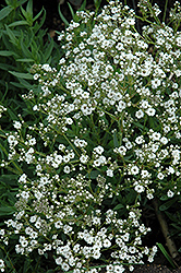 Festival™ Star Baby's Breath (Gypsophila paniculata 'Festival Star') at Bedford Fields