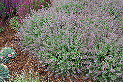 Purrsian Blue Catmint (Nepeta x faassenii 'Purrsian Blue') at Bedford Fields
