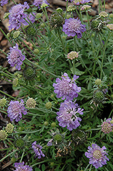Ritz Blue Pincushion Flower (Scabiosa japonica 'Ritz Blue') at Bedford Fields