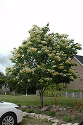 Japanese Tree Lilac (Syringa reticulata) at Bedford Fields