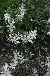Sparkle White Gaura (Gaura lindheimeri 'Sparkle White') at Bedford Fields