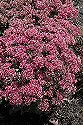 Mr. Goodbud Stonecrop (Sedum 'Mr. Goodbud') at Bedford Fields