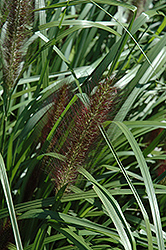 Red Head Fountain Grass (Pennisetum alopecuroides 'Red Head') at Bedford Fields