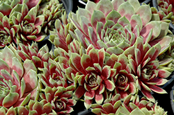 Commander Hay Hens And Chicks (Sempervivum 'Commander Hay') at Bedford Fields