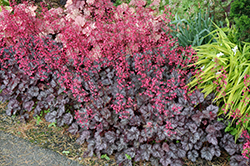 Glitter Coral Bells (Heuchera 'Glitter') at Bedford Fields