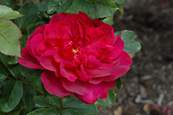 Darcey Bussell Rose (Rosa 'Darcey Bussell') at Bedford Fields
