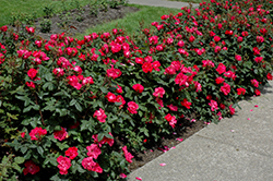 Knock Out® Rose (Rosa 'Radrazz') at Bedford Fields