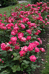 Double Knock Out® Rose (Rosa 'Radtko') at Bedford Fields