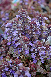 Bronze Beauty Bugleweed (Ajuga reptans 'Bronze Beauty') at Bedford Fields
