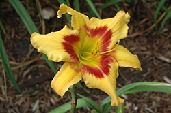 Tiger Swirl Daylily (Hemerocallis 'Tiger Swirl') at Bedford Fields