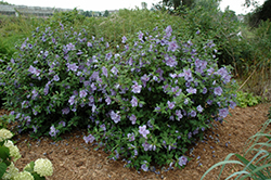 Blue Chiffon® Rose of Sharon (Hibiscus syriacus 'Notwoodthree') at Bedford Fields