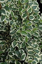 Variegated Creeping Fig (Ficus pumila 'Variegata') at Bedford Fields