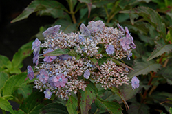 Tiny Tuff Stuff™ Hydrangea (Hydrangea serrata 'MAKD') at Bedford Fields