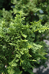 Fernspray Hinoki Falsecypress (Chamaecyparis obtusa 'Filicoides') at Bedford Fields