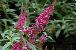 Buzz™ Hot Raspberry Butterfly Bush (Buddleia davidii 'Buzz Hot Raspberry') at Bedford Fields