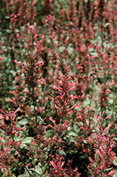 Kudos Coral Hyssop (Agastache 'Kudos Coral') at Bedford Fields