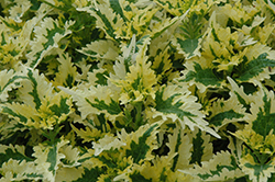 Dutch Mill Drive Coleus (Solenostemon scutellarioides 'Dutch Mill Drive') at Bedford Fields