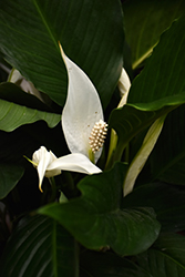 Peace Lily (Spathiphyllum wallisii) at Bedford Fields