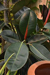 Rubber Tree (Ficus elastica) at Bedford Fields