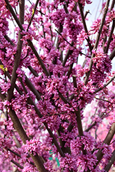 Alley Cat Redbud (Cercis canadensis 'Alley Cat') at Bedford Fields