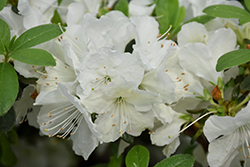 Girard's Pleasant White Azalea (Rhododendron 'Girard's Pleasant White') at Bedford Fields
