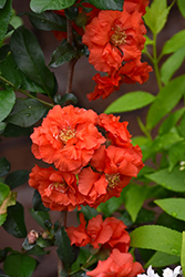 Double Take Orange™ Flowering Quince (Chaenomeles speciosa 'Double Take Orange Storm') at Bedford Fields
