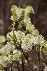 Mt. Airy Fothergilla (Fothergilla major 'Mt. Airy') at Bedford Fields