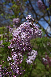 Lilac Sunday Lilac (Syringa x chinensis 'Lilac Sunday') at Bedford Fields