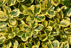 Gold Splash® Wintercreeper (Euonymus fortunei 'Roemertwo') at Bedford Fields