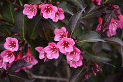 Wine and Roses® Weigela (Weigela florida 'Alexandra') at Bedford Fields