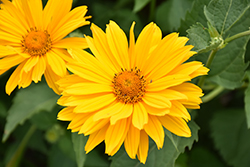 Venus False Sunflower (Heliopsis helianthoides 'Venus') at Bedford Fields