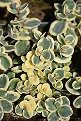 Lime Twister Stonecrop (Sedum 'Lime Twister') at Bedford Fields