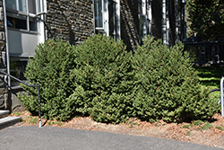 Green Mountain Boxwood (Buxus 'Green Mountain') at Bedford Fields