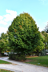 Legacy Sugar Maple (Acer saccharum 'Legacy') at Bedford Fields