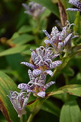 Toad Lily (Tricyrtis hirta) at Bedford Fields