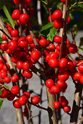 Little Goblin® Red Winterberry (Ilex verticillata 'NCIV1') at Bedford Fields