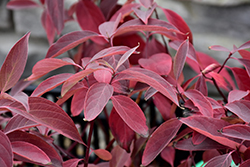 Arctic Fire® Red Twig Dogwood (Cornus sericea 'Farrow') at Bedford Fields
